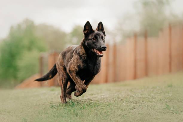 young dutch shepherd dog running in summer young dutch shepherd dog running outdoors in summer dog run fast zoomies