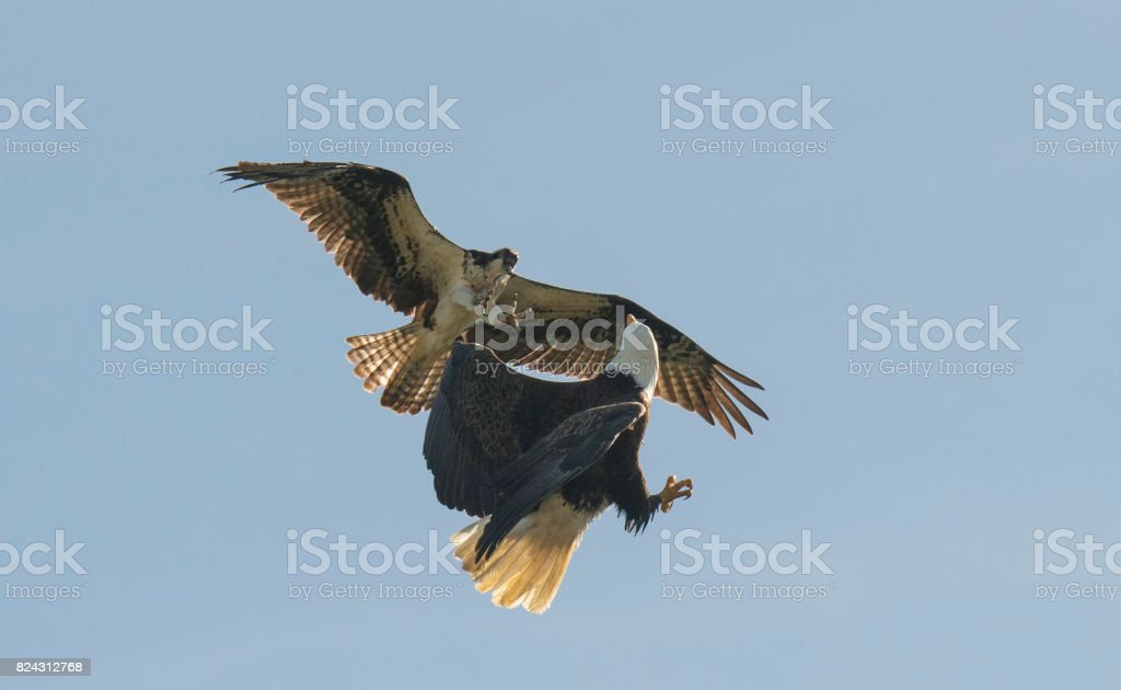 Young Eagle Attacks Old Eagle stock photo