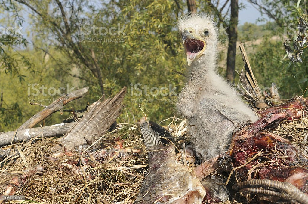 Young Eagle Chick in Nest stock photo