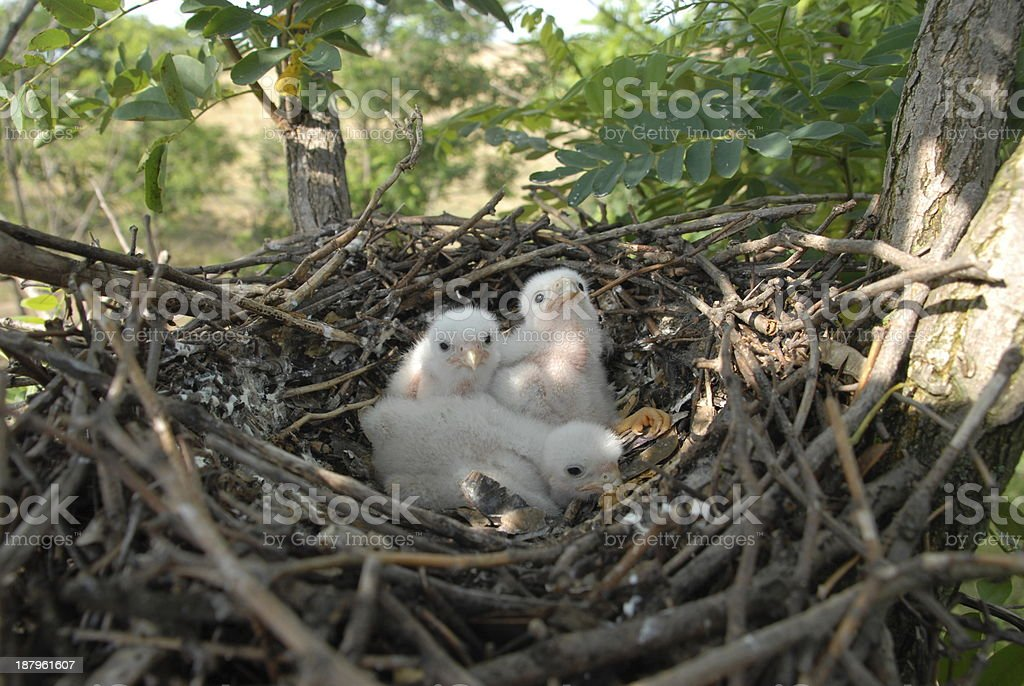 Young Eagle Chick in Nest royalty-free stock photo