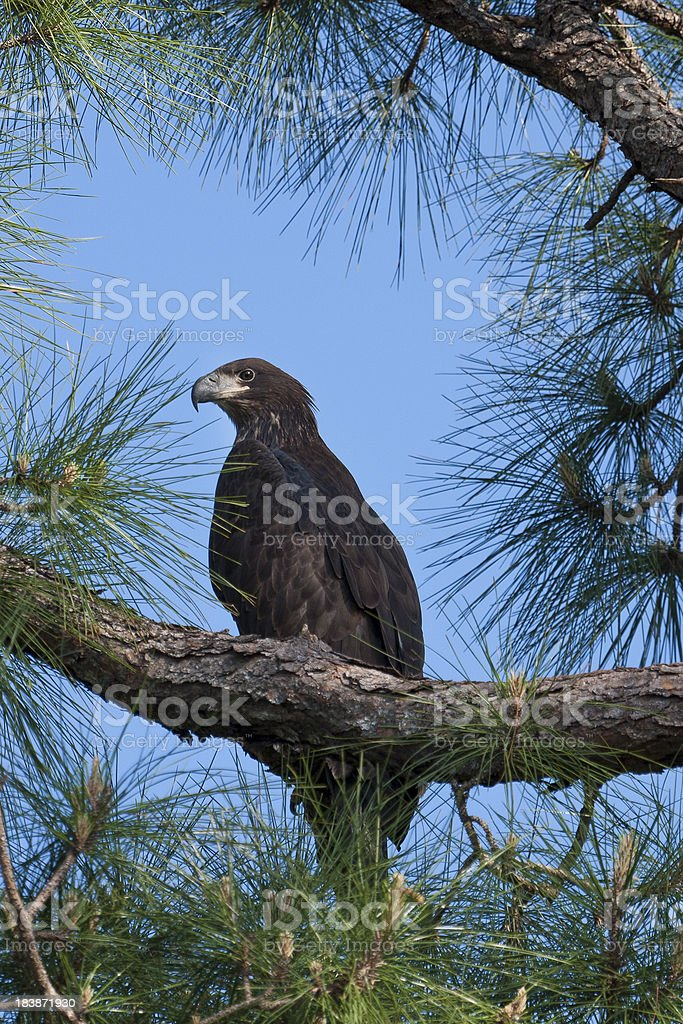 Young Eagle in Tree stock photo