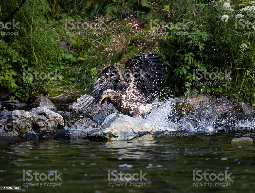 Young eagle landing in the water for a fish stock photo