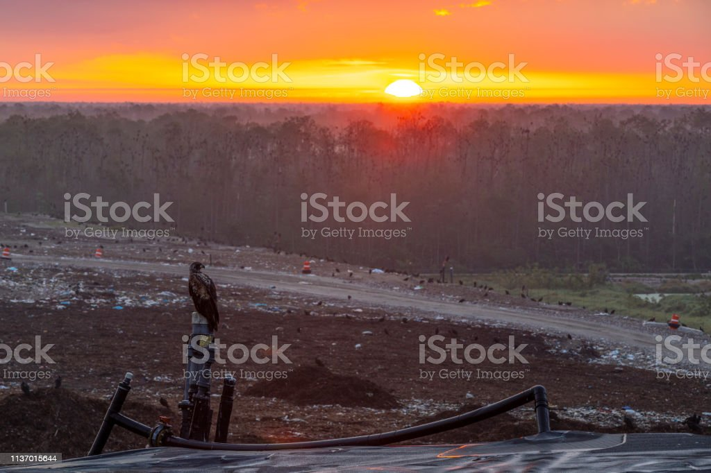 Young eagle looks over a Recycling Landfill at sunrise stock photo