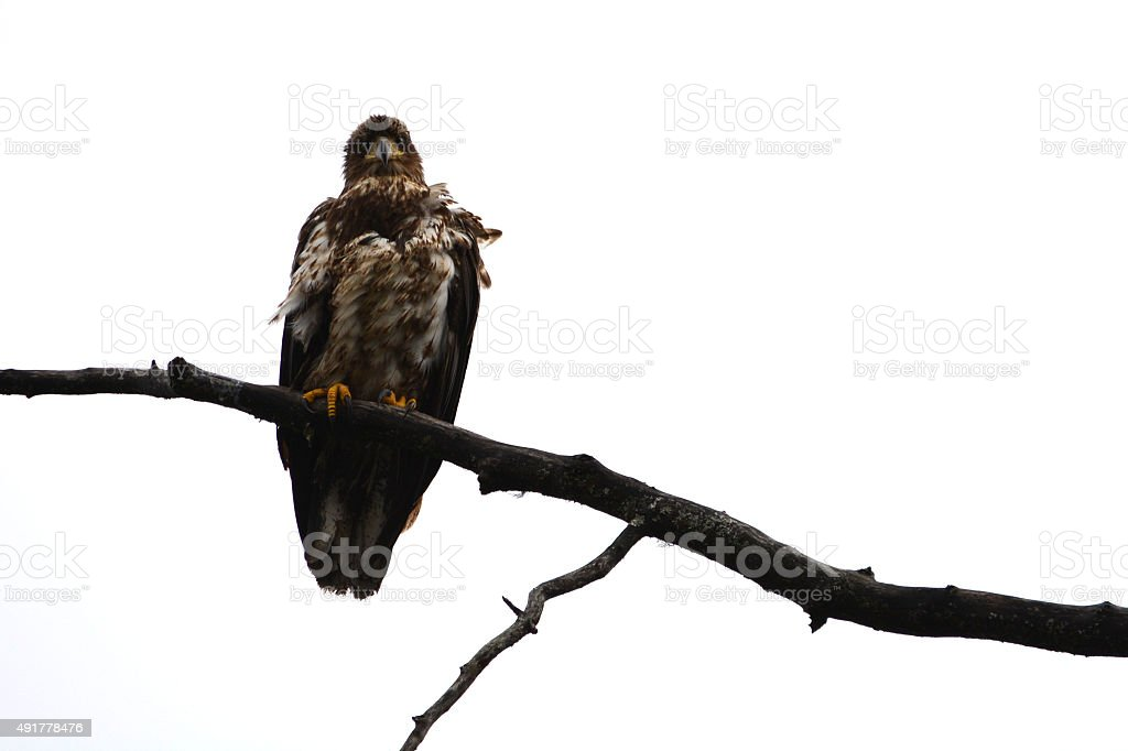 Young Eagle Perched on a Branch stock photo