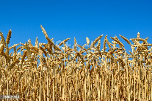 Young ears of grain on the background of blue sky.