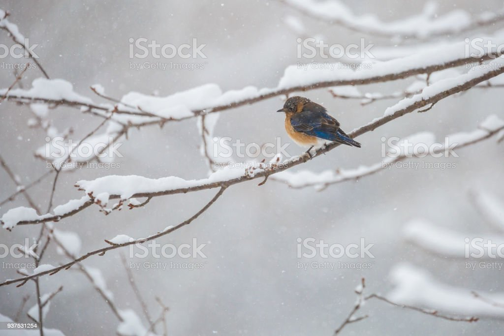 A Young Eastern Bluebird (Sialia sialis) In a Snowstorm stock photo