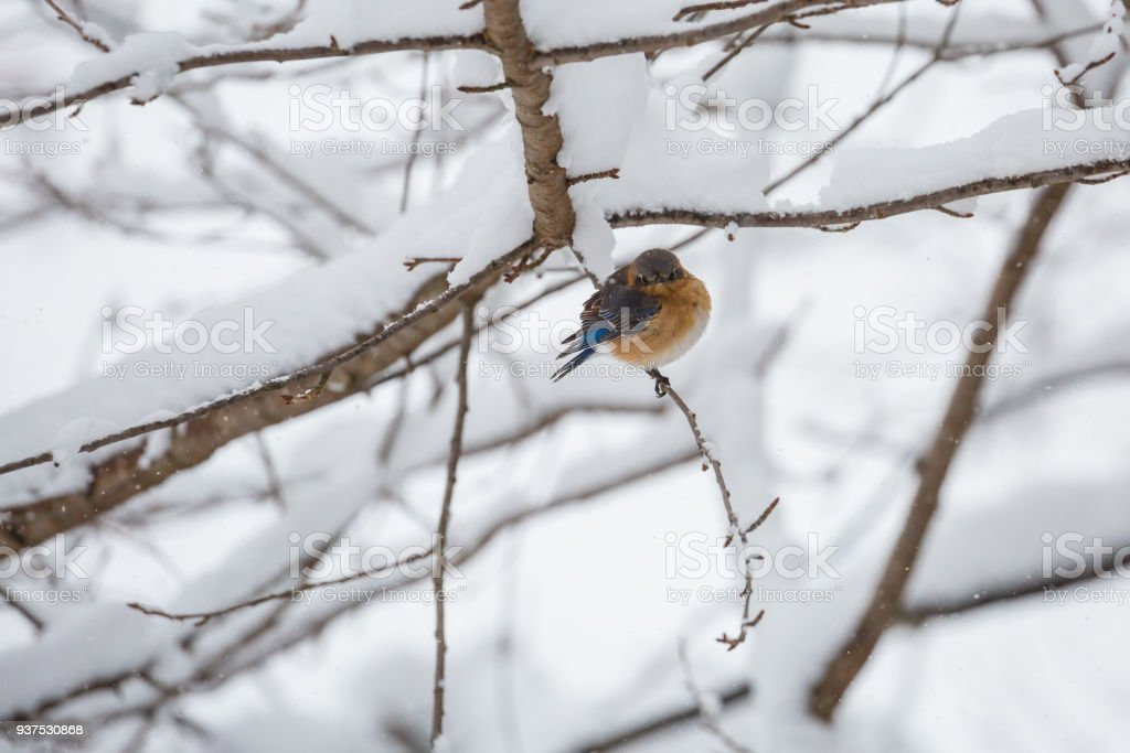 A Young Eastern Bluebird (Sialia sialis) In a Snowstorm, Staring At The Photographer stock photo