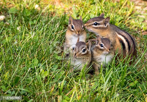 Young Eastern Chipmunks, Tamias striatus, in green grass - cute and funny animals in the Spring