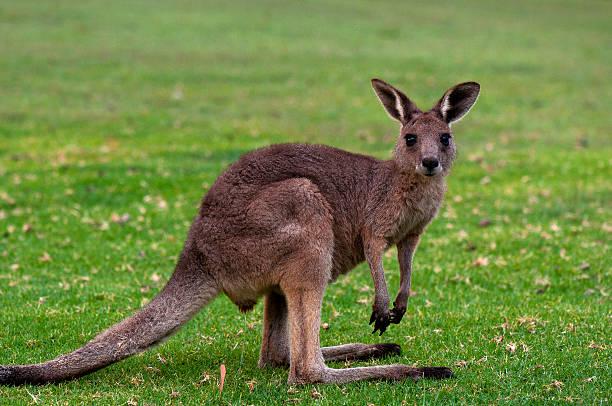 Young Eastern Grey Kangaroo stock photo