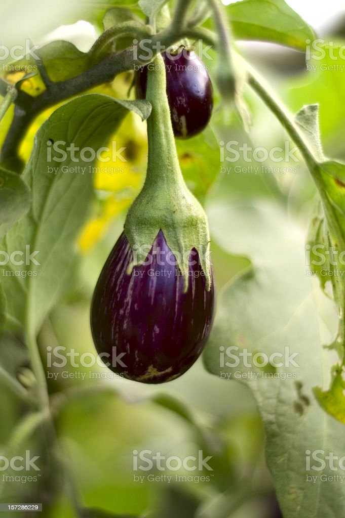 Young Eggplant royalty-free stock photo