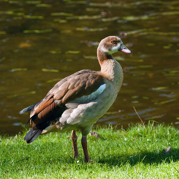 Young Egyptian Goose​​​ foto