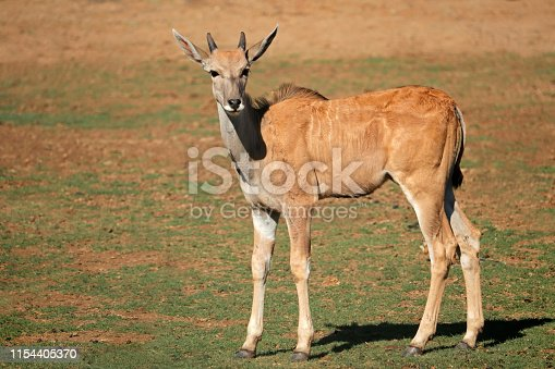 Young eland antelope (Tragelaphus oryx) calf in natural habitat, South Africa