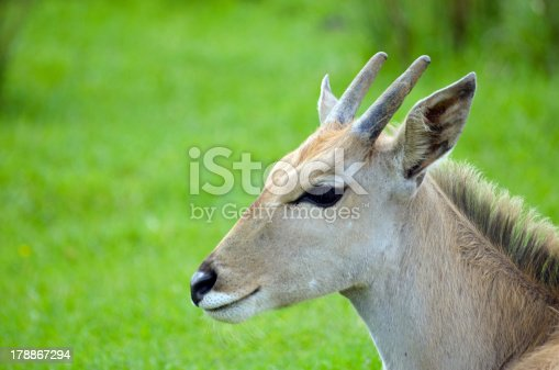 Close up head shot of Young Eland antelope