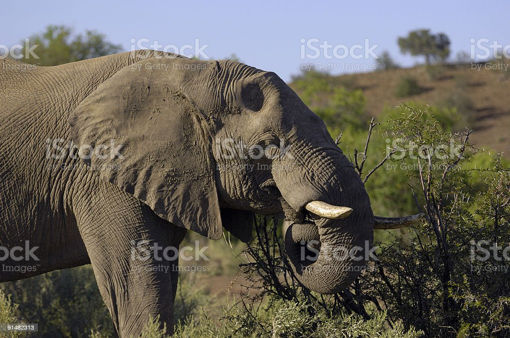 Young elephant bull eating royalty-free stock photo