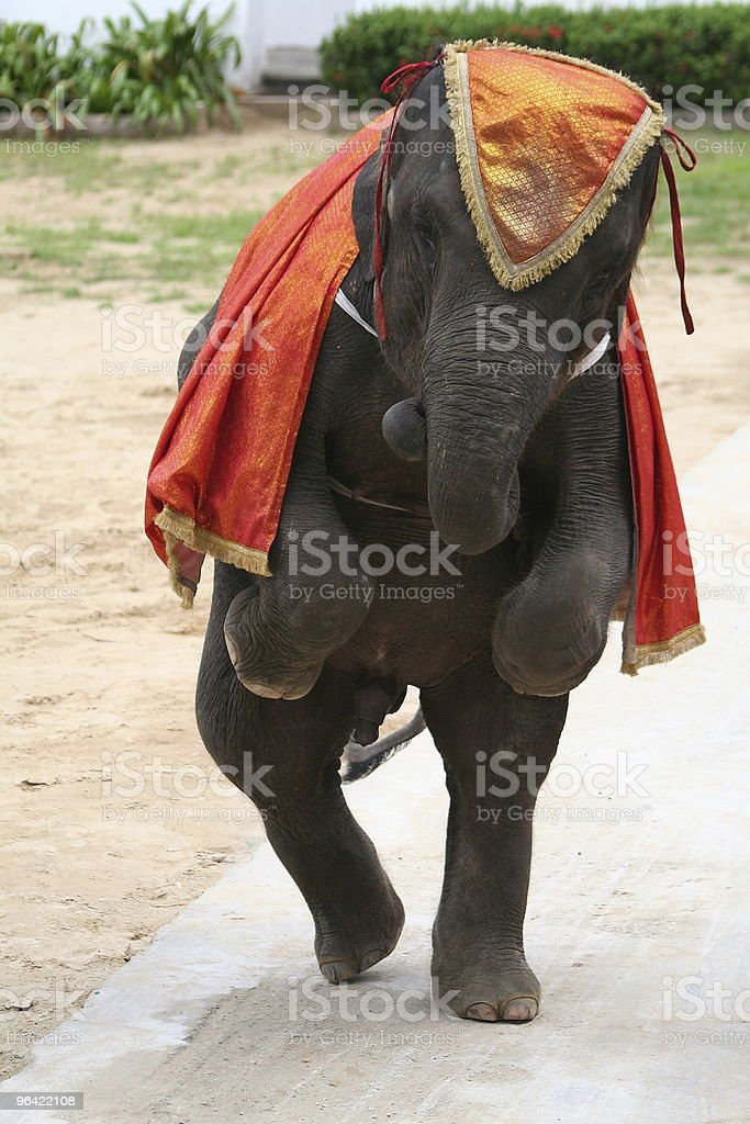 Young Elephant Dancing On Two Legs royalty-free stock photo