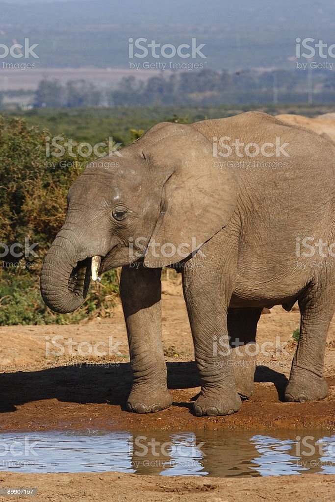 Young elephant drinking royalty free stockfoto