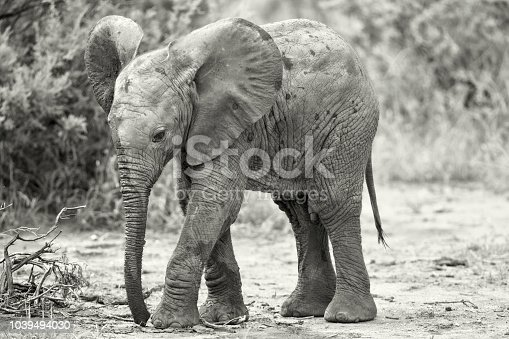 A young male Elephant. Taken in Samburu, Kenya