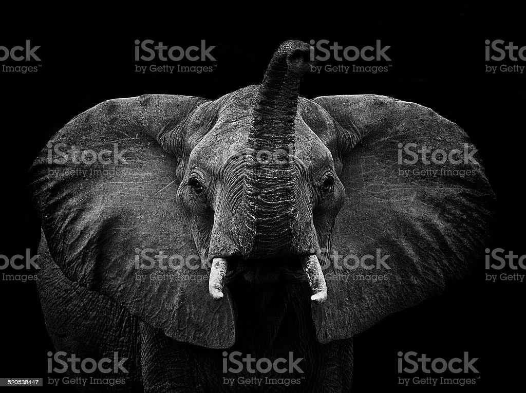 Young Elephant - Loxodonta Africana stock photo