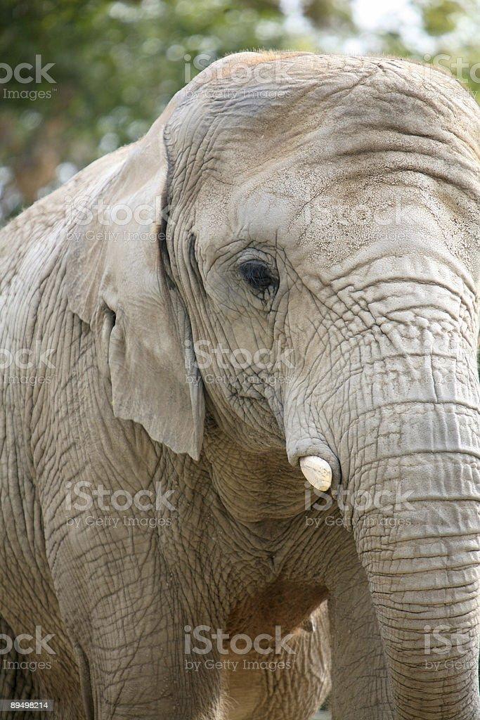Young Elephant royalty free stockfoto