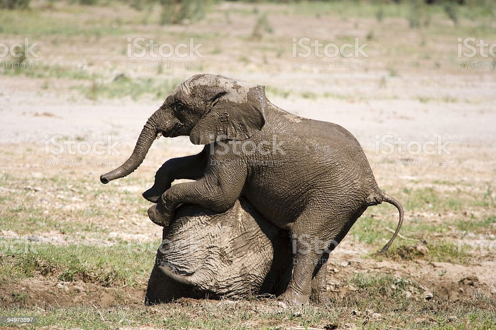 Young Elephant playing royalty-free stock photo