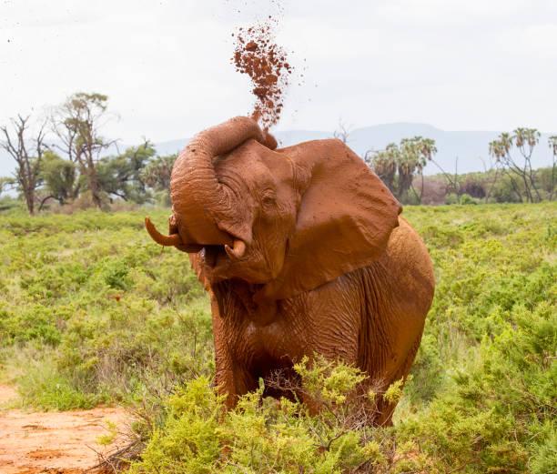 Young Elephant Spraying Mud stock photo