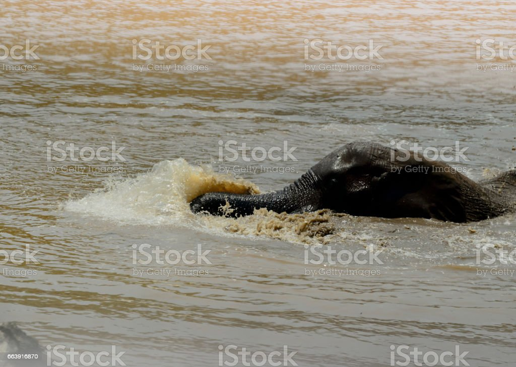 Young elephant swimming and enjoying spashing the water, Kruger National Park, South Africa stock photo