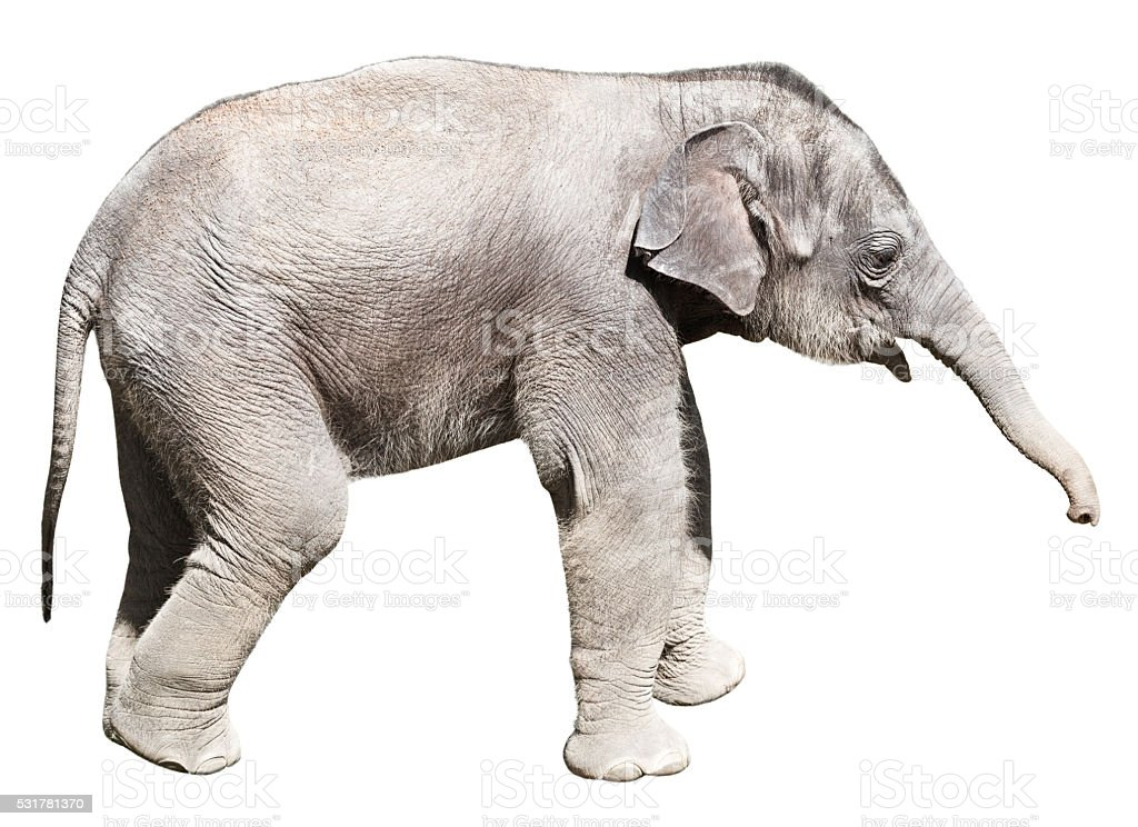 Young elephant with on white background clipping path inside stock photo