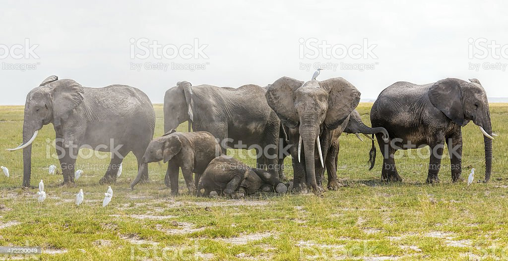 Young elephants cleaning with dust under parents protection against predators stock photo