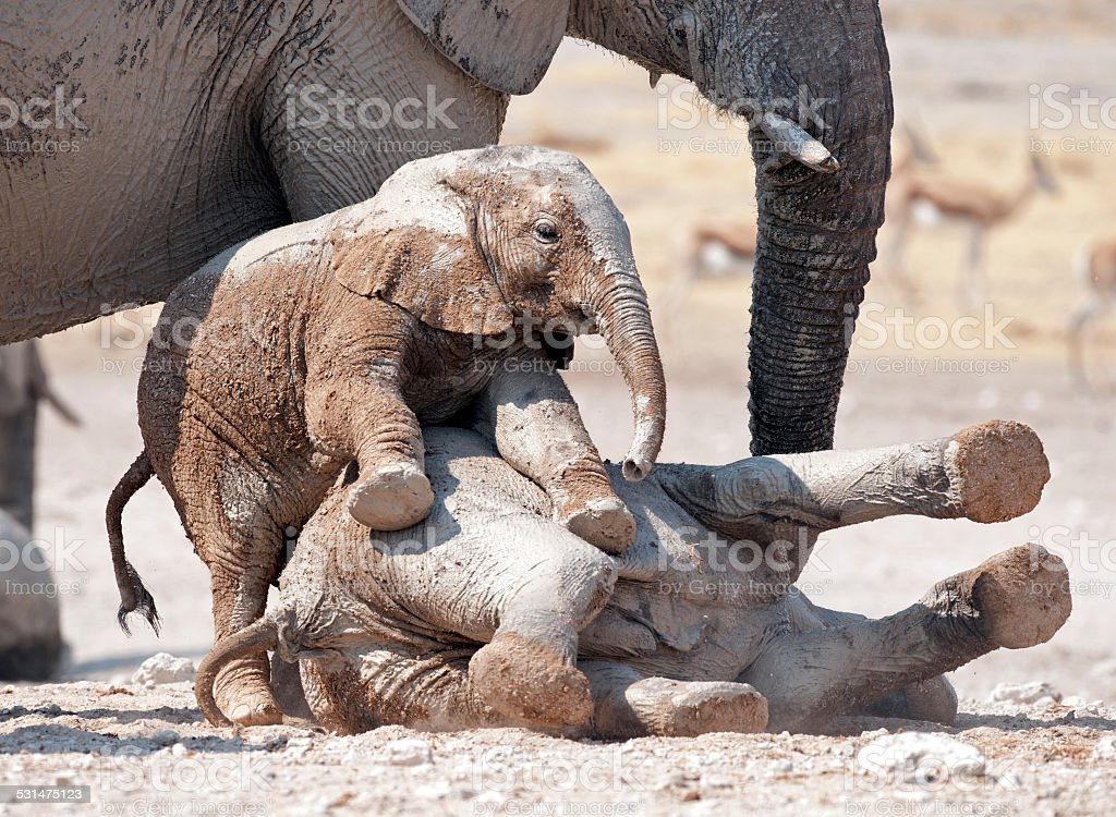 Young elephants playing stock photo