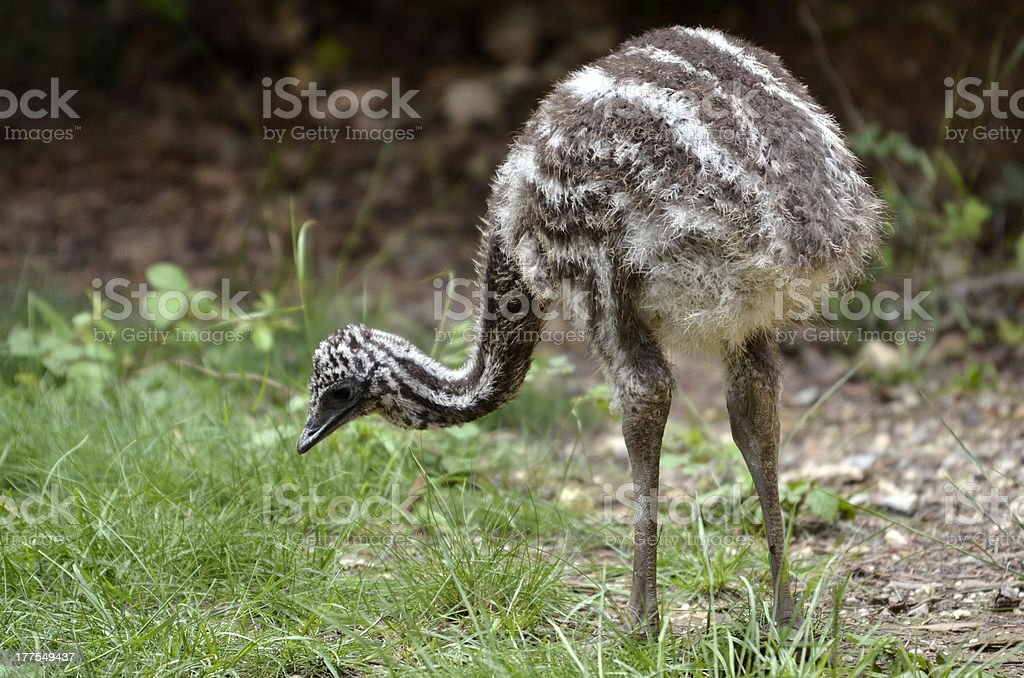Young emu on the grass royalty-free stock photo