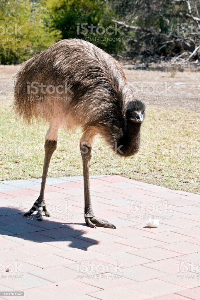 young emu stock photo