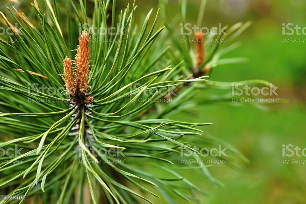 young escapes of a fir stock photo