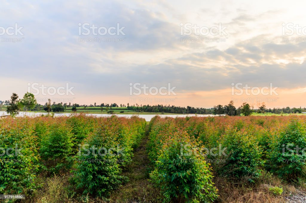 young Eucalyptus forest under sunlight stock photo