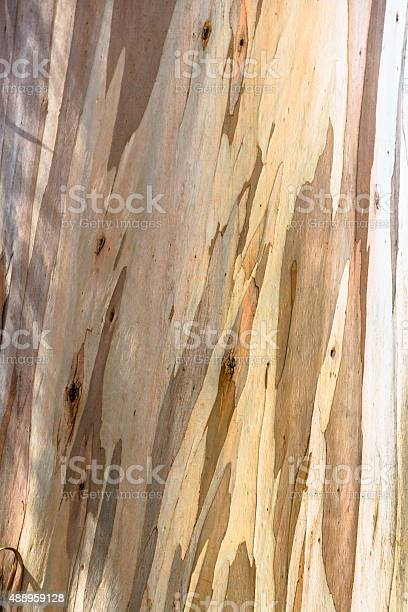Photo of Young Eucalyptus Tree Bark