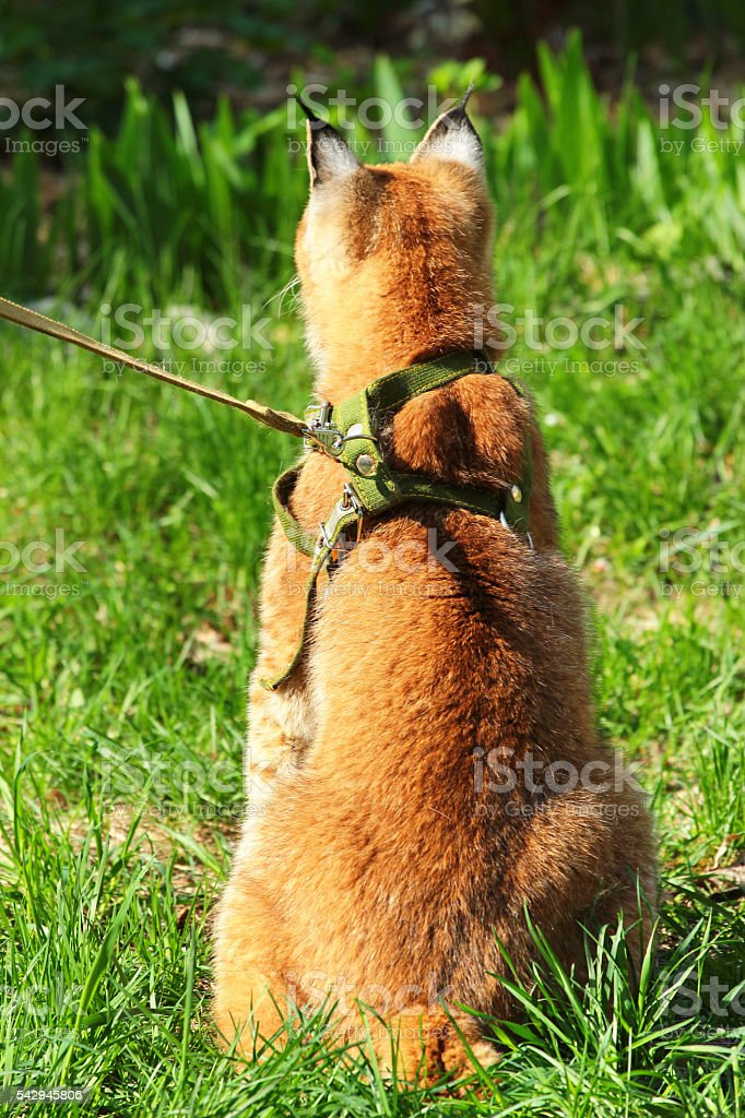 Young eurasian lynx on a leash stock photo