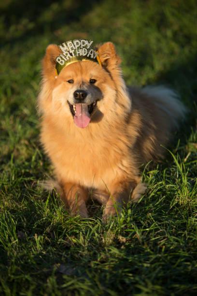 junger eurasischer rüde mit glücklichem geburtstagshaar reif - vorschulgeburtstag stock-fotos und bilder