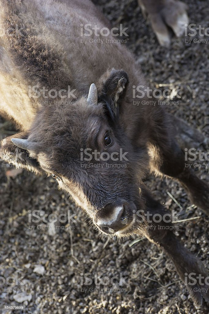 Young European bison royalty-free stock photo