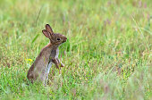 Young european rabbit eating grass on a meadow.