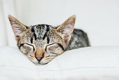 Cute funny sleeping little kitten. Young European Shorthair cat lying on white background, close up. Copy space. Mackerel tabby coat color.