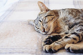 Young European Shorthair cat sleeping in bed on  soft and warm blanket, close up. Cute sleepy tabby kitty lying in bedroom.