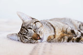 Young European Shorthair cat sleeping in bed on  soft and warm blanket, close up. Cute sleepy tabby kitty lying in bedroom. Copy space.