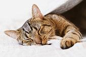 Young European Shorthair cat sleeping in bed under blanket, close up. Cute sleepy tabby kitty lying in bedroom.