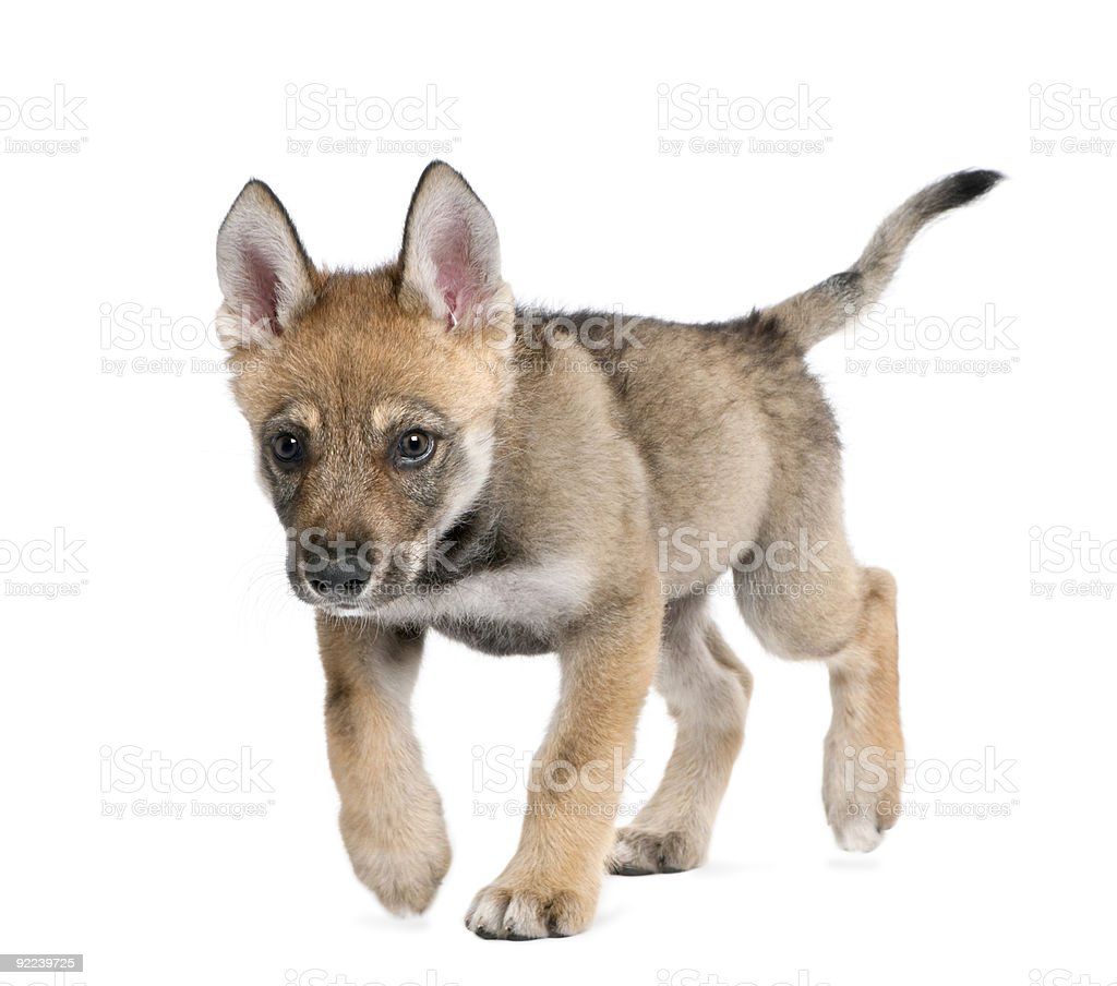 Young European wolf stock photo