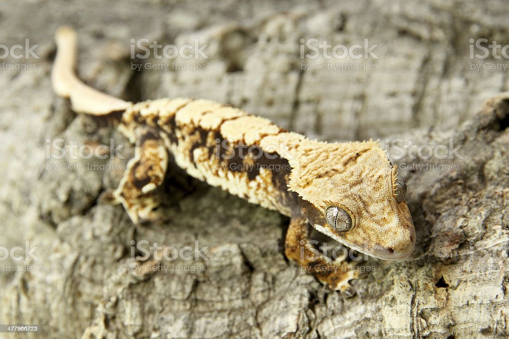 Young Eyelash Crested Gecko On Wood Stock Photo More Pictures Of