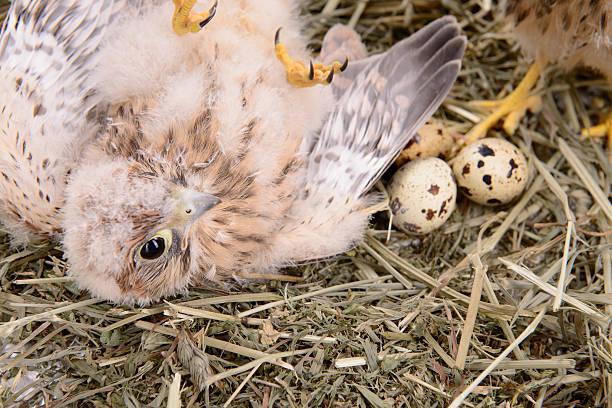 Pájaro joven falcon - foto de stock