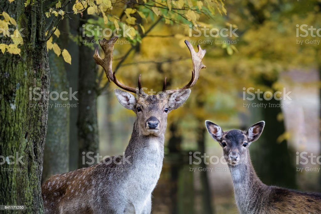 A young fallow deer and its father looking into the camera in the forest stock photo