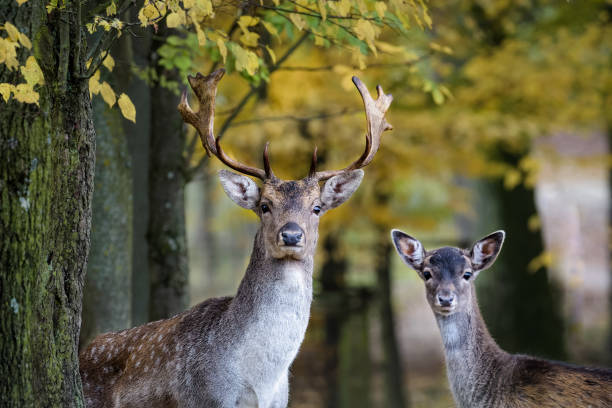 A young fallow deer and its father looking into the camera in the forest - foto stock