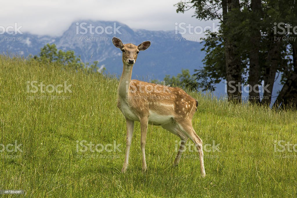Young fallow-deer stock photo