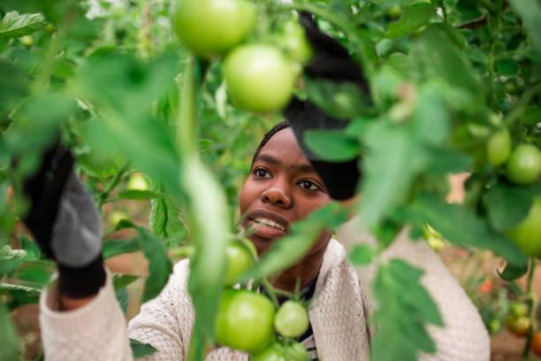 joven trabajador recogiendo tomates frescos de la granja - negras maduras fotografías e imágenes de stock