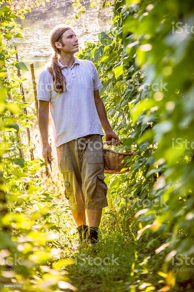 Young Farmer Checking His Bean Plants royalty-free stock photo